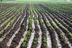 Reihen der Mais- oder Maisanlagen Stockfotos
