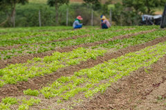 Reihen der neuen organischen Gemüsezucht am Bauernhof Stockfoto