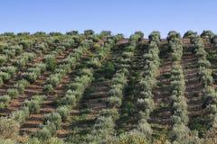 Reihen der Olivenbäume Lizenzfreies Stockbild