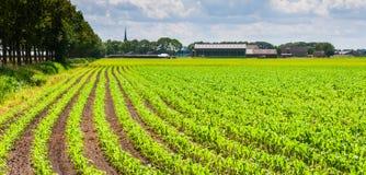 Reihen der Silagemaisanlagen in einer landwirtschaftlichen Landschaft Lizenzfreie Stockbilder
