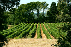 Reihen der Traubenreben gestaltet mit Bäumen Lizenzfreies Stockbild