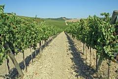 Reihen der Weinberge und der Hügel von Toskana in Italien Stockbilder