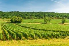 Reihen der Weinbergtraubenlandschaft im Burgund, Frankreich lizenzfreie stockbilder