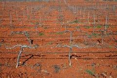 Reihen der Weinstöcke im Weinberg Lizenzfreie Stockfotografie