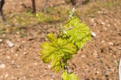 Reihen der Zeit der Weinstöcke im Frühjahr mit junger Traube Lizenzfreies Stockbild