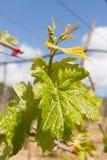 Reihen der Zeit der Weinstöcke im Frühjahr mit junger Traube Lizenzfreie Stockfotografie