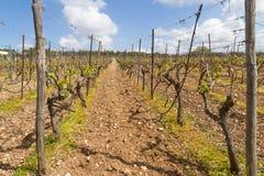 Reihen der Zeit der Weinstöcke im Frühjahr mit junger Traube Lizenzfreie Stockbilder