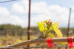 Reihen der Zeit der Weinstöcke im Frühjahr mit junger Traube Stockfotografie