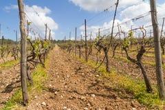 Reihen der Zeit der Weinstöcke im Frühjahr mit junger Traube Stockfoto