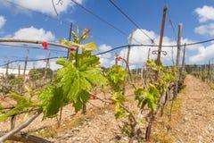 Reihen der Zeit der Weinstöcke im Frühjahr mit junger Traube Stockbild