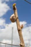 Reihen der Zeit der Weinstöcke im Frühjahr mit junger Traube Stockbilder