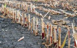 Reihen des Abschlusses der Maisstoppel oben lizenzfreie stockfotografie