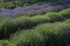 Reihen des blühenden Lavendels Stockfotos