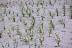 Reihen des Dünen-Grases auf dem Strand Lizenzfreies Stockbild