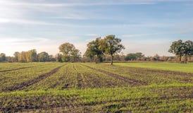 Reihen des frisch gesäten Grases auf einem großen Gebiet mit Maisstoppel Einige Bäume brechen durch die flache Landschaft Es ist  lizenzfreies stockbild
