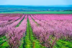 Reihen des Gartens der Blütenpfirsichbäume im Frühjahr lizenzfreie stockbilder