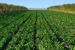 Reihen des Gemüses Stockfoto