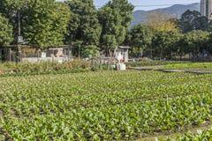Reihen des Gemüses im Ackerland Stockfotografie