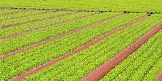 Reihen des grünen Salats gewachsen auf landwirtschaftlichem Gebiet 2 stockfoto