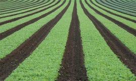 Reihen des jungen Gemüses Stockfotos