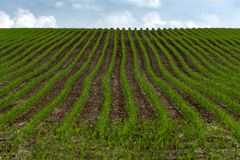 Reihen des jungen grünen Kornes gesät auf Feld stockfoto