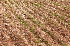 Reihen des jungen Grüns auf armem Feld. Stockbild