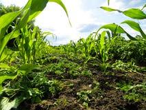 Reihen des jungen Mais Stockfoto