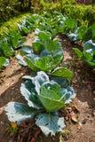 Reihen des Kohls im Garten Lizenzfreies Stockfoto