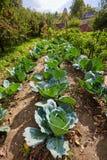 Reihen des Kohls im Garten Lizenzfreie Stockfotos