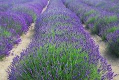 Reihen des Lavendels Lizenzfreie Stockfotografie