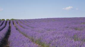 Reihen des Lavendels stockbilder