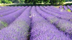 Reihen des Lavendels in der Blüte Lizenzfreies Stockbild