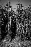 Reihen des Mais-Monochroms stockbilder