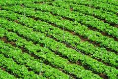 Reihen des neuen Grüns Lizenzfreies Stockbild