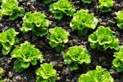 Reihen des Römersalats Stockfoto