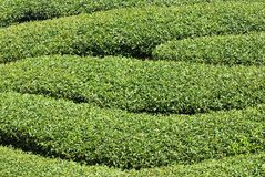 Reihen des Teebaums Lizenzfreie Stockfotografie