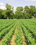 Reihen des Wachsens der landwirtschaftlichen Getreide Stockfoto