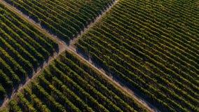 Reihen des Weinbergs bevor dem Ernten Stockfotografie