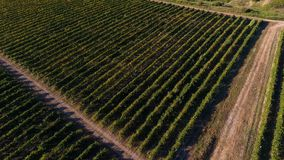 Reihen des Weinbergs bevor dem Ernten Lizenzfreies Stockbild