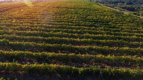 Reihen des Weinbergs bevor dem Ernten Lizenzfreie Stockbilder