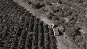 Reihen des Weinbergs bevor dem Ernten Stockbild