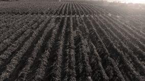 Reihen des Weinbergs bevor dem Ernten Stockfoto