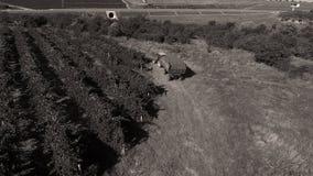 Reihen des Weinbergs bevor dem Ernten Lizenzfreies Stockfoto