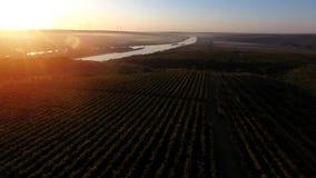 Reihen des Weinbergs bevor dem Ernten, Brummenansicht Lizenzfreie Stockfotos