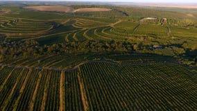 Reihen des Weinbergs bevor dem Ernten, Brummenansicht Lizenzfreie Stockfotografie