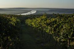 Reihen des Weinbergs bevor dem Ernten, Brummenansicht Stockfoto