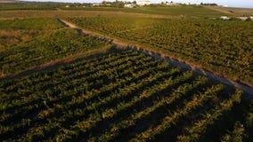 Reihen des Weinbergs bevor dem Ernten, Brummenansicht Stockbilder