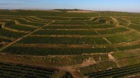 Reihen des Weinbergs bevor dem Ernten, Brummenansicht Lizenzfreies Stockbild