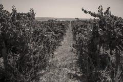 Reihen des Weinbergs bevor dem Ernten, gesehen von oben Lizenzfreies Stockbild