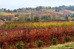 Reihen des Weinbergs im Herbst Stockfotos